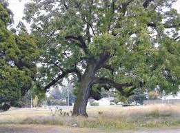 Senior Healthy Hikers, Gresham's Significant Trees Walk: Wed, Jul 15, 2020 10AM-12PM. Let's Go Walking! Info here!