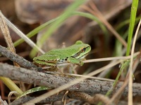 Free, Columbia Slough Tour, Explore the Life of Frogs: Apr 11, 2012 5-6PM. Info here!