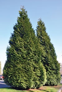 Hogan Cedars; Only in Gresham. Gresham is the only place where the Hogan cedar grows naturally, along Hogan Road along Johnson Creek.