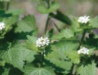 City of Gresham Urban Weeds Workshop: Thu, Apr 27, 2017 6PM-8:30PM. Seeking Volunteers. Info here!