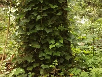 Help us remove invasive ivy. Help a little, or help a lot. Volunteer! No Ivy Day at Nadaka Nature Park: Sat Oct 25, 2014 9AM-NOON. 174th & NE Glisan, Gresham OR. Click for info!